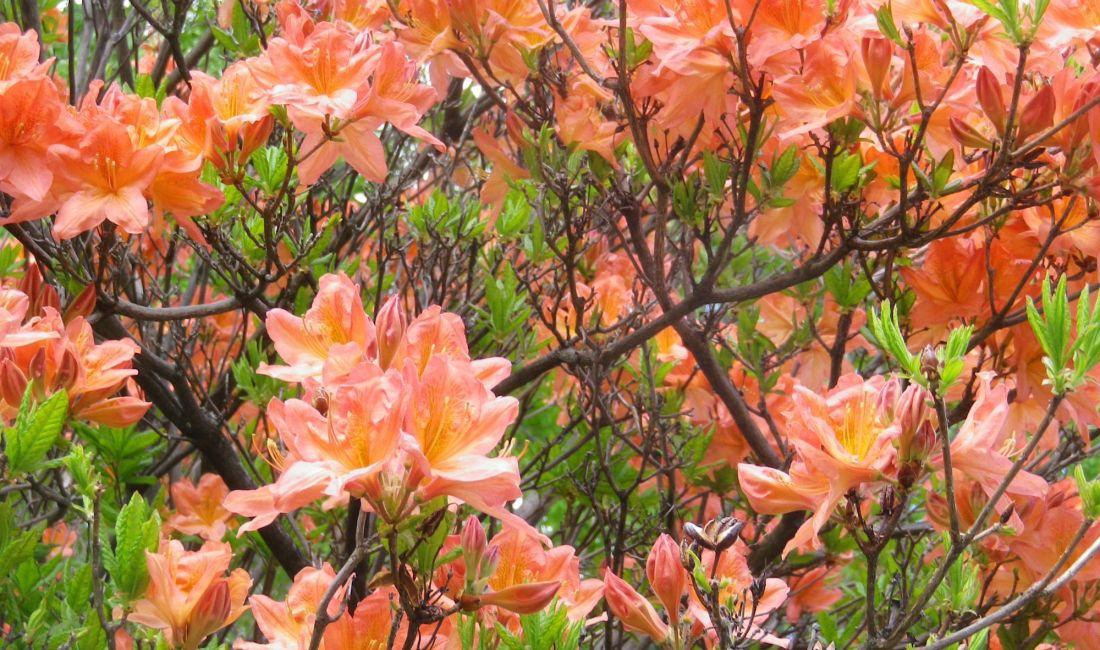 6月の乗鞍高原では、レンゲツツジが咲いてきています!