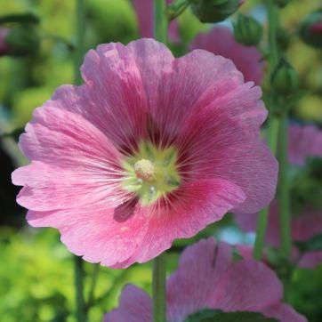 立葵ピンク