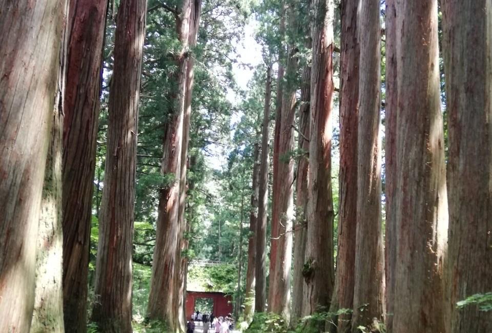 戸隠神社的古杉树林道