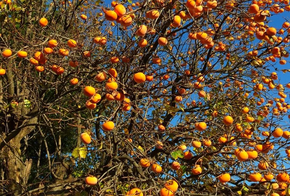 秋季水果~柿子(來曬澀柿子!好甜的柿餅!)