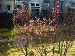 女鳥羽川の大山桜咲き始めました🌸情報