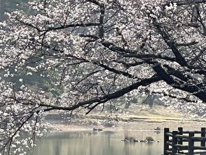 2021.3.30 AM  千鹿頭池の桜