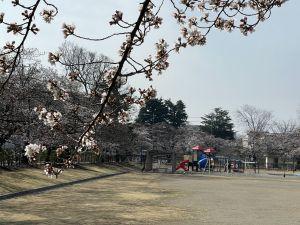 2012.3.30 AM  あがたの森の桜