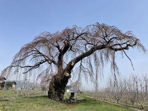 2021.3.30 AM 梓川北条の枝垂れ桜