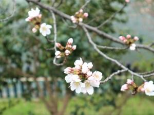 街中のソメイヨシノも咲き始めました🌸