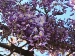 松本市街地の花が咲き始めました。