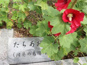 まつもと湧水巡り「松本神社前井戸」タチアオイが咲き始めています。