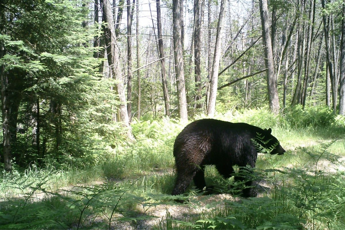 Oregon Black Bear - hibernation