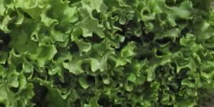 Fresh Local Lettuce