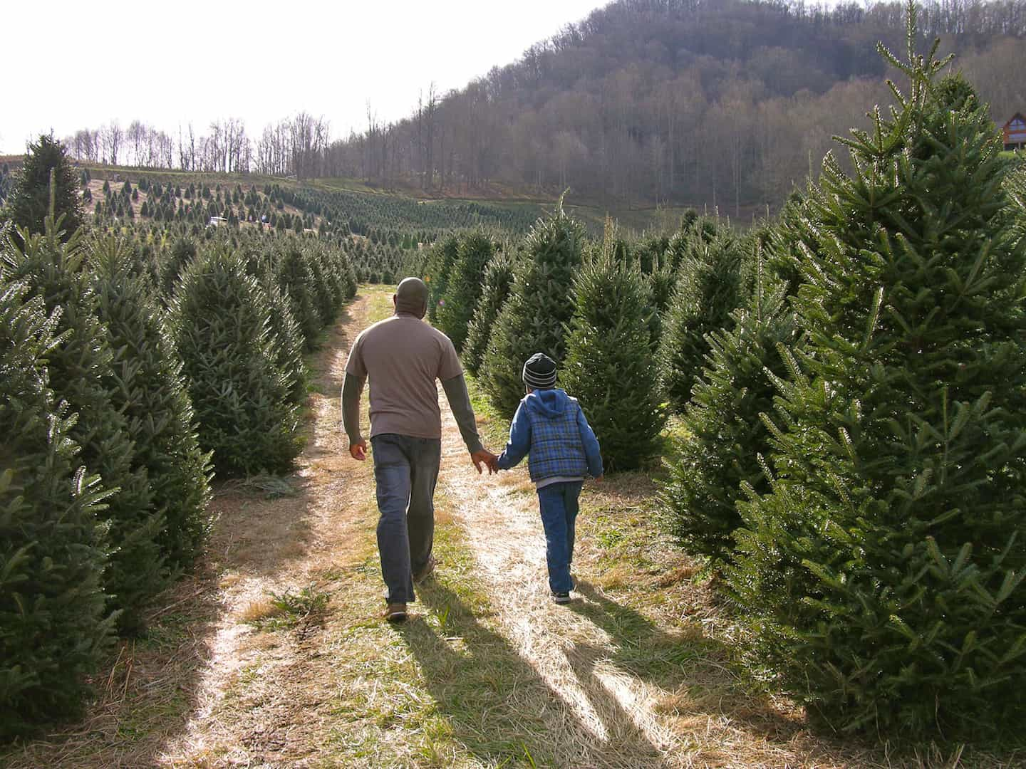 Choose N Cut Christmas Trees Holiday Traditions Nc Smoky Mountains