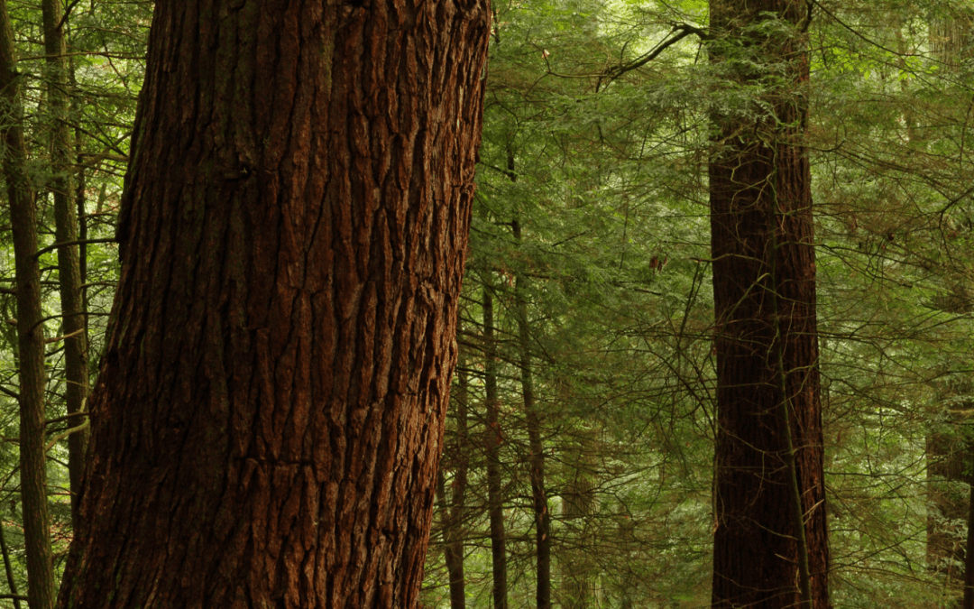 Cook Forest State Park's Forest Cathedral Celebrates 50 Years as a National Natural Landmark