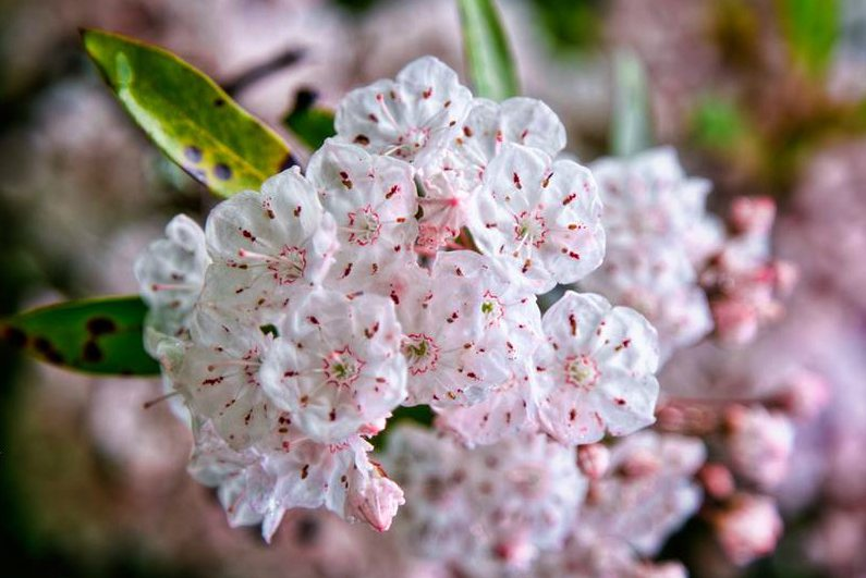 Come Enjoy the Mountain Laurel, Pennsylvania's State Flower
