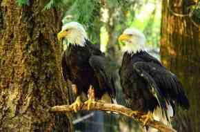 American_Bald_Eagles_at_NW_Trek