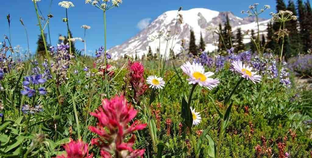 Bildergebnis für Mount Rainier with flowers in September