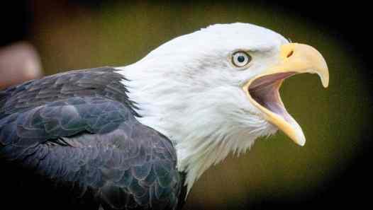 Eagle at Northwest Trek and Wildlife Park
