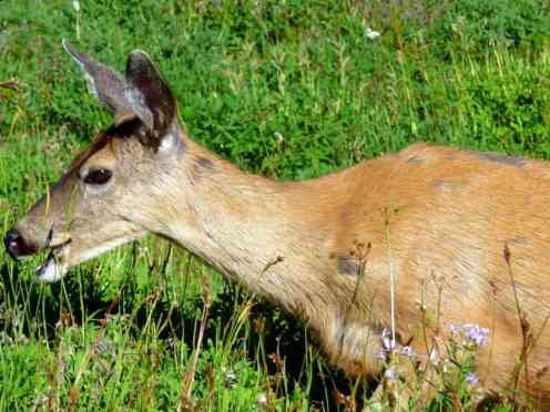 portrait_of_mule_deer,_moraine_trail,_mrnp