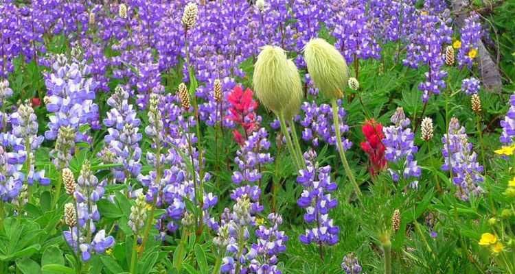 mt rainier wildflowers  visit rainier, Beautiful flower
