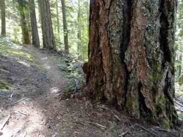 Big old trees line the White River Trail © Craig Romano