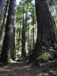 Giant firs on the Moss Lake Loop © Craig Romano