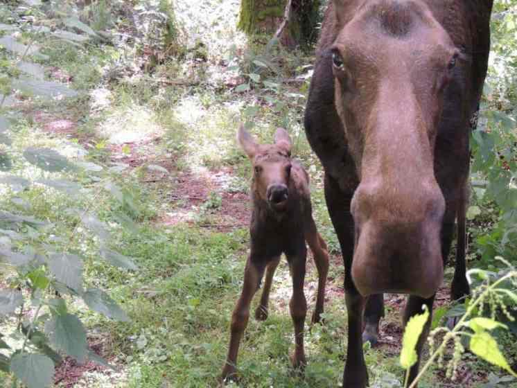 Moose at Northwest Trek and Wildlife Park