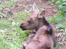 2016 moose calf 009 (002)