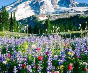 Mount Rainier above meadows of aster, lupine, paintbrush, and more near Paradise, Mount Rainier National Park, Washington, USA.
