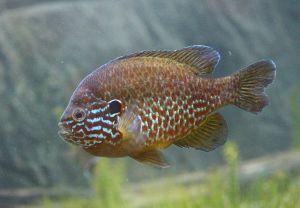 Pumpkinseed Sunfish