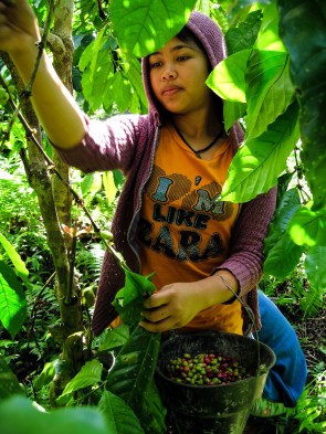 Coffee harvest next to Tambora Guesthouse