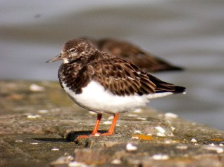 Turnstone- Credit Tony Swandale