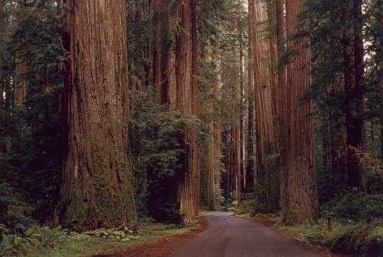 humboldt_redwood