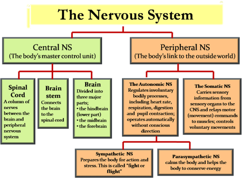 small resolution of diagram and labeling of rest of nervous system