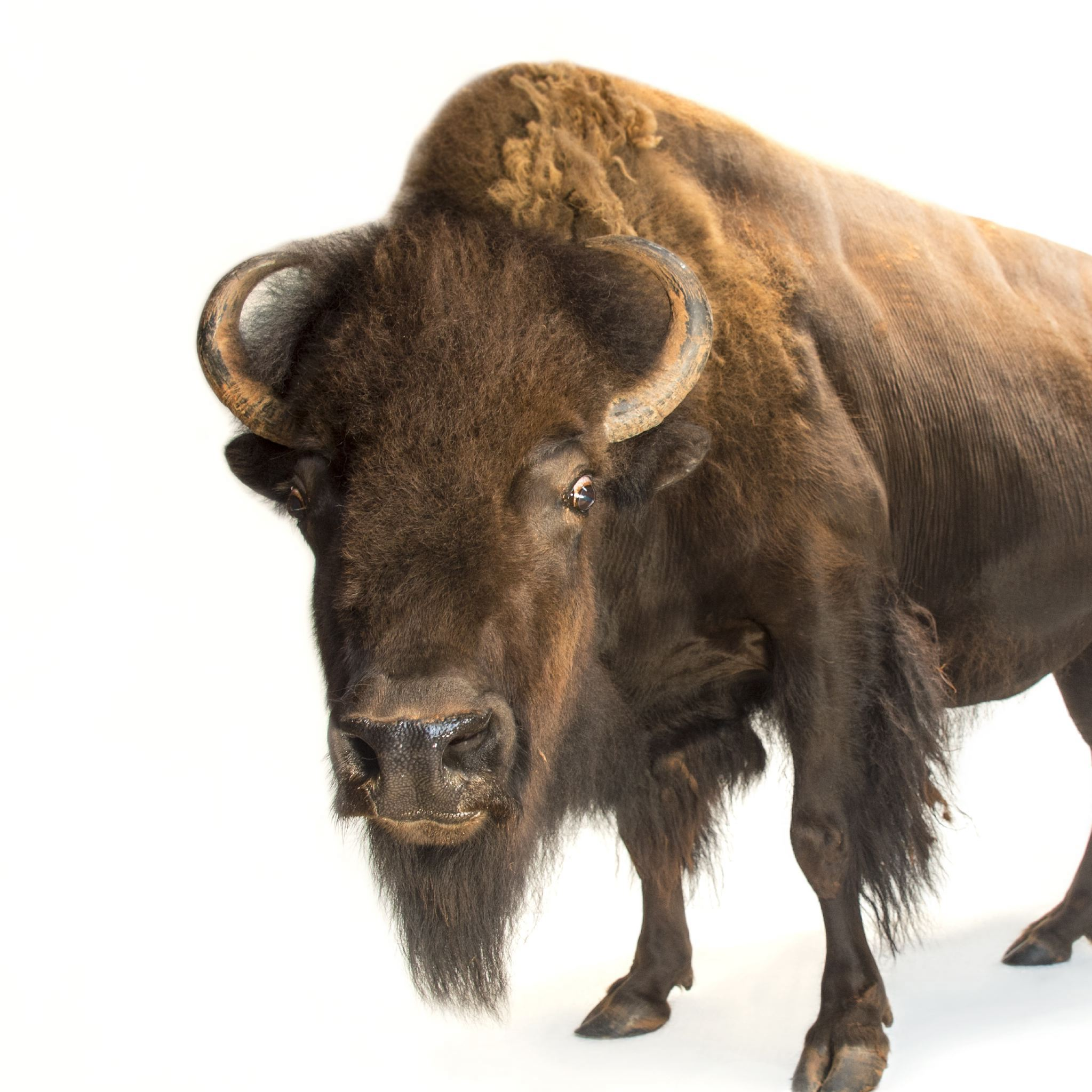 American Bison Wallpapers Animal Hq American Bison