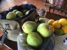 shhh... jumped the fence and went mango picking!