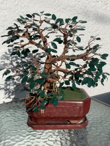 brown tree with dark green leaves in a red pot