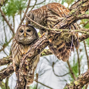 A photo of two owls in a tree and one is kissing the other on the head