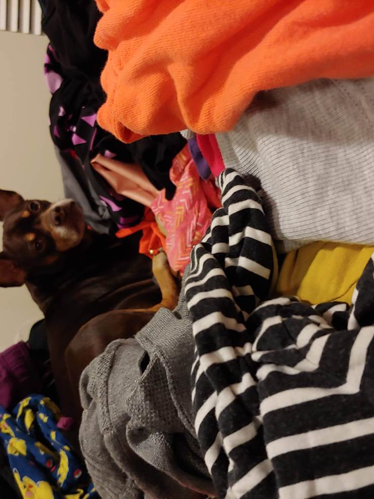 A brown dog with big ears surrounded by a pile of clothes
