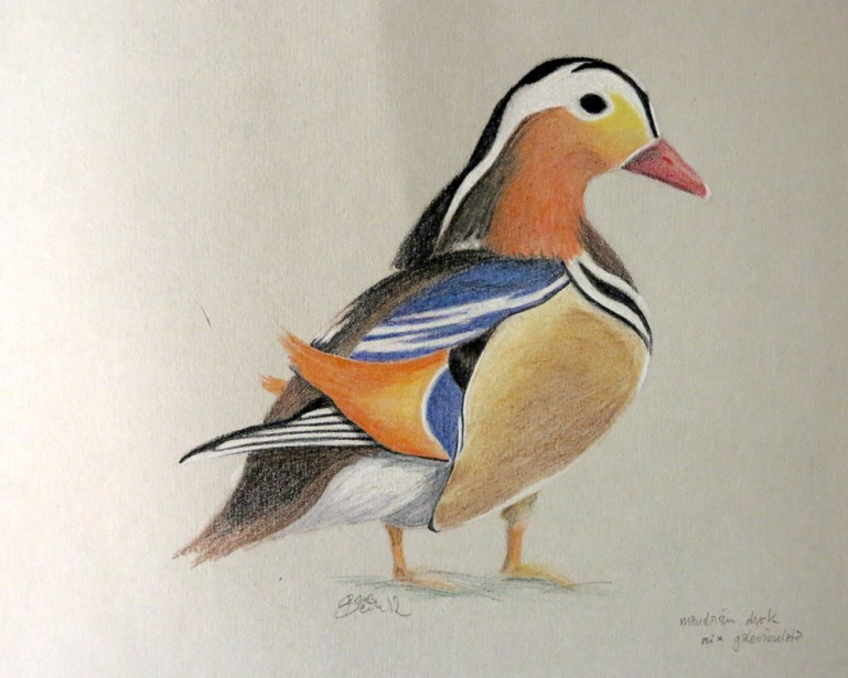 mandarin duck, pencli 2h & coloured