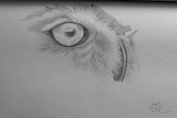 barn owl, pencil hb, 2b