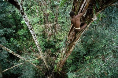 """Sowayen climbing down a """"yambim"""" or ironwood tree after knocking loose a nest of black ants"""