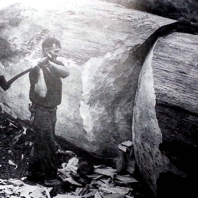 Man cutting a chopped down Kauri