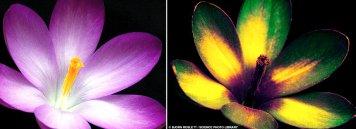 Crocus in Ultraviolet