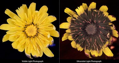 Dandelion Flower Visible vs Ultraviolet