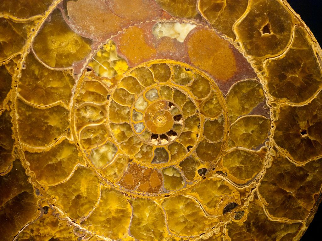 Gorgeous ammonites
