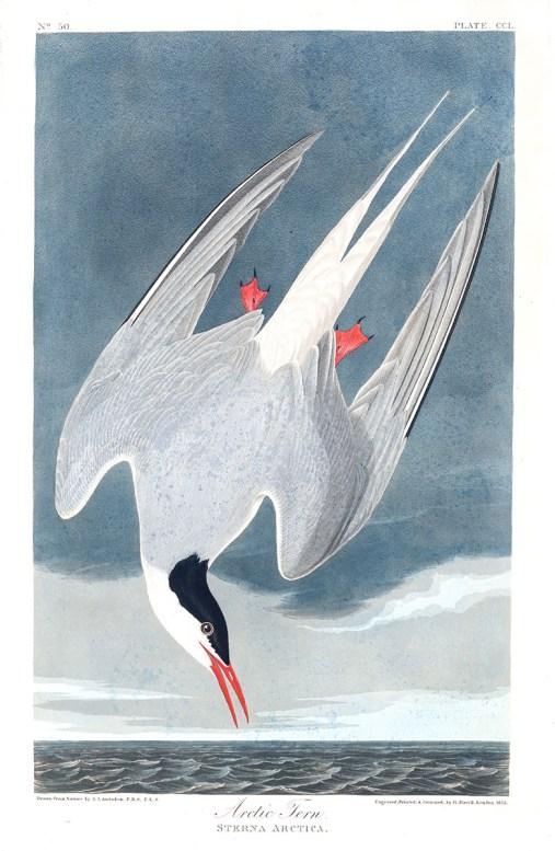 Artic Tern