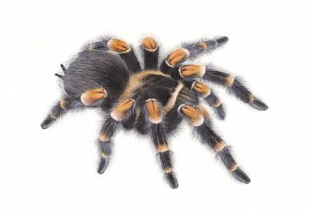 Spider, Carim Nahaboo