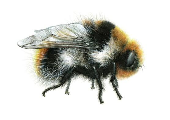 Bee, Carim Nahaboo