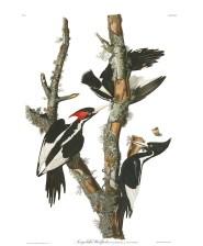Ivory Billed Woodpeck