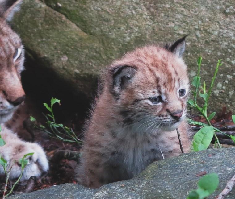 Eurasian lynx kitten