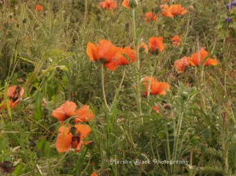 Poppies in Tierra del Fuego, Chile and Argentina | Marsha J Black