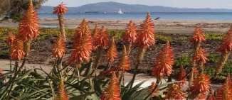 Christmas in Santa Barbara with brilliant Red Hot Pokers | Marsha J Black